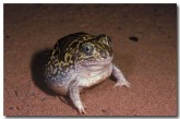 001-northern-burrowing-frog-xx-765-copy