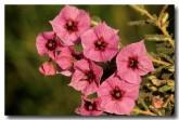 001-small-flowered-guichenotia-guichenotia-micrantha-ae-373