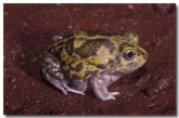 003-northern-burrowing-frog-gs-597-copy