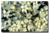 003-rulingia-rulingia-densiflora-kb-611