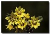 006-golden-rulingia-rulingia-luteflora-le-671