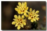007-golden-rulingia-rulingia-luteiflora-am-834