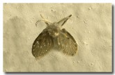 01-moth-fly-pschoda-sp-pb-884-fly