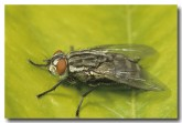 020-flesh-fly-2-sarcophaga-sp-pp-352