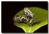 034-flesh-flies-sarcophaga-sp-rr-760