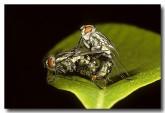 034-flesh-flies-sarcophaga-sp-rr-760