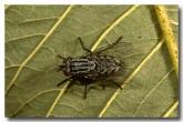 037-flesh-fly-sarcophagidae-lj-092