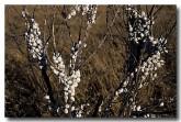 040-white-italian-snail-theba-pisana-pg-285