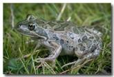 06-spotted-marsh-frog-limnodynastes-tasmaniensis-mwd-137