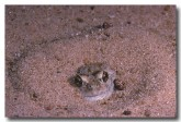 068-spencers-burrowing-frog-zz-858-copy