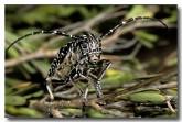 071-longicorn-beetle-rhytiphora-saundersi-xe-492