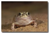 072-spencers-burrowing-frog-zr-545-copy