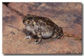 073-spencers-burrowing-frog-hf-468-copy