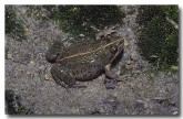 075-spotted-grass-frog-gs-594-copy