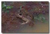 076-spotted-grass-frog-hf-399-copy