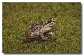 078-spotted-grass-frog-hf-377-copy