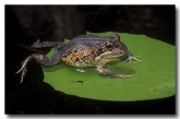 079-northern-banjo-frog-hf-412-copy