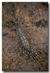 08-house-centipede-allothereua-maculata-mwd-031