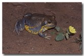 081-northern-banjo-frog-gs-595-copy