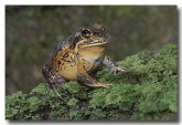 082-northern-banjo-frog-hf-428-copy
