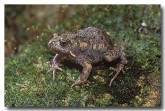 095-tableland-toadlet-hf-858-copy