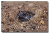 100-floodplain-toadlet-hf-840-copy