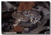 101-smooth-toadlet-gs-607-copy
