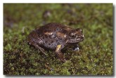 102-smooth-toadlet-hf-895-copy