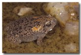105-russells-toadlet-pc-688-copy