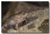 106-russells-toadlet-pc-686-copy