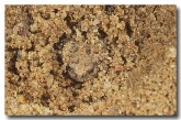 108-russells-toadlet-pc-693-copy