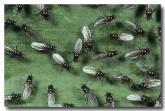 123-ant-flies-sepsidae-ke-919