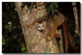 18-crowned-lemur-xh-053-copy