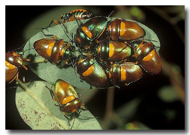 Green Jewl Bug