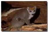 21-crowned-lemur-xh-077-copy