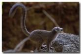 22-crowned-lemur-xh-082-copy