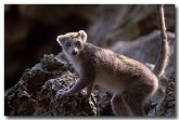 23-crowned-lemur-xh-080-copy