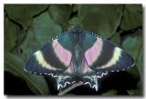 24-zodiac-moth-qb-772-copy