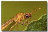 26-lacewing-myrmeleontidae-pc-755