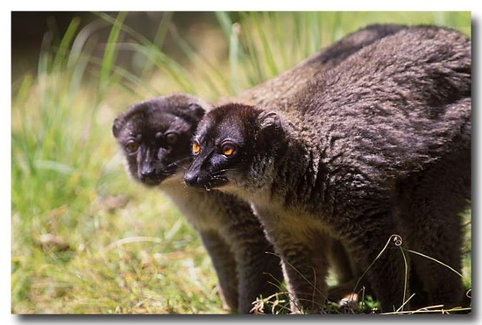 Brown Lemur – pair