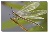 29-antlion-lacewing-myrmeleontidae-hw-157