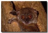 39-sportive-lemur-xh-217-copy