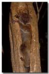 40-sportive-lemur-xh-213-copy