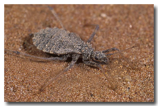 Cave-dwelling Assassin Bug