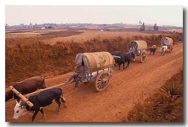 Bullock wagons on a dirt road