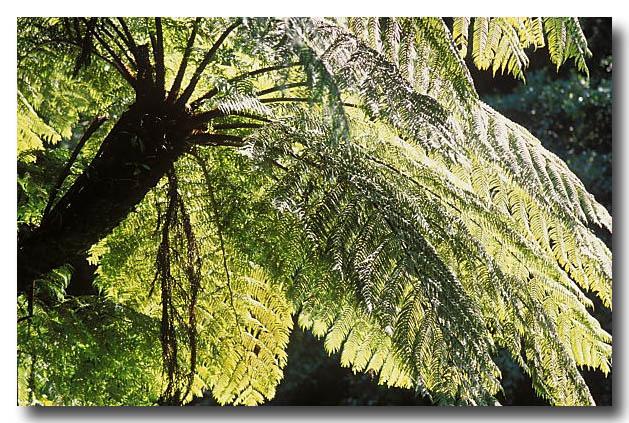 (XH-227) Rainforest Tree fern
