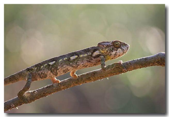 Chameleon – female