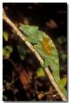 80-chameleon-xh-711-copy