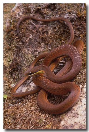 A Colubrid Snake