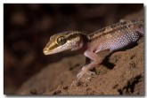 85-gecko-mz-576-copy